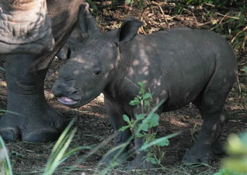 Baby rhino named Obama born at Ziwa Rhino Sanctuary.