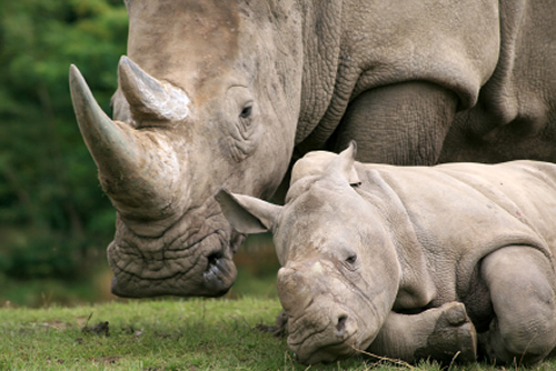 Tragically, the rhino was pregnant. According to iafrica.com, the rhino had ...